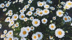 Cute Daisy Wallpapers