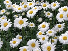 Flower Dreams Daisy Flower Wallpapers