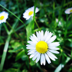Pure Aesthetic Daisy Flower Grass Grove iPad Air Wallpapers