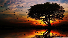A flock of birds flying ahead the sunset wallpapers
