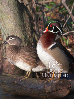 Ducks Unlimited Wood Duck Wallpapers