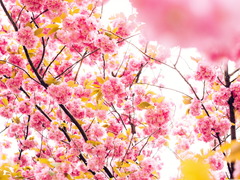 Cherry Blossom Tree Wallpapers
