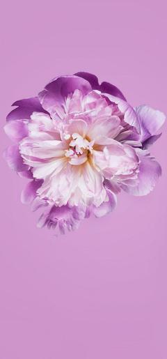Pink Petals Flower Wallpapers