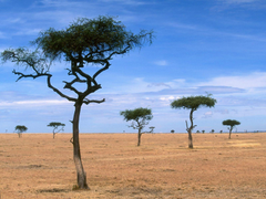 Scattered Acacia Trees Kenya Africa wallpapers and image