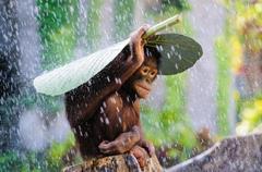 Wallpapers Chimpanzee Congo River tourism banana leaves rain