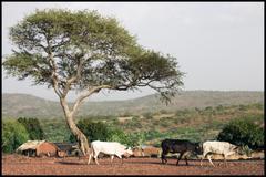 HD cows in burkina faso Wallpapers