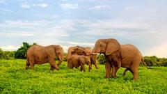 African Elephants In Chobe National Park Botswana Africa Desktop