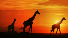 wallpapers Giraffes At Sunset Botswana HD Widescreen High
