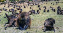 ethiopia monkeys