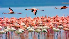 Flamingos Lake Nakuru Kenya Wallpapers