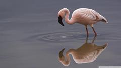 Lesser Flamingo Lake Nakuru National Park Kenya 4K HD Desktop