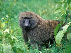 Animals Male Olive Baboon Lake Nakuru National Park Kenya picture
