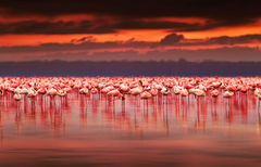 Flamingo sunset at lake Nakuru Kenya