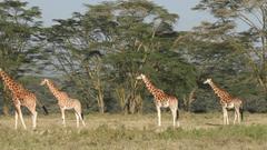 Rothschilds giraffes Lake Nakuru National Park Kenya Stock Video