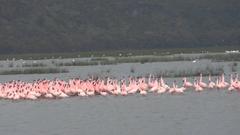 FLAMINGOS dancing at Lake Nakuru