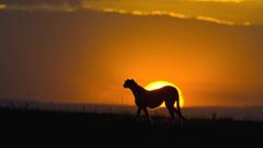 Cheetah At Sunset Maasai Mara Reserve Kenya 1920x1080