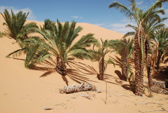 Trees nearly swallowed up by sand dunes in Chinguetti Mauritania