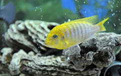 Malawi Aggressive Cichlid Hd Wallpapers