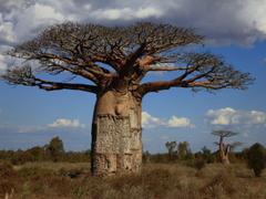 best Baobab image