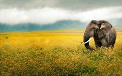 Elephant Yellow Field Tanzania wallpapers