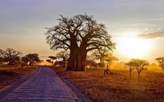 landscape Nature Baobab Trees Dry Grass Dirt Road Shrubs