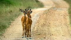 Animals Impala Animals Uganda Roads Wallpapers Animal Hd for HD
