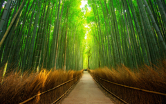 The Arashiyama Bamboo Grove of Kyoto in Japan