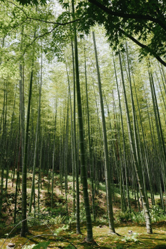 Arashiyama Bamboo Forest Kyoto Japan Pictures