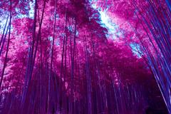 Wallpapers Arashiyama Bamboo Grove Forest Infrared Pink HD