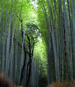 Bamboozled Kyoto s Arashiyama Bamboo Grove HD Wallpapers From