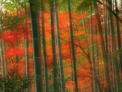 Arashiyama Tag wallpapers Forest Japan Arashiyama Kyoto Autumn