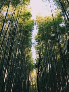 Arashiyama Bamboo Grove Kyoto Japan Pictures