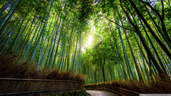 Quality Abraham Jefferson Arashiyama Bamboo Forest in Kyoto Japan
