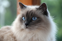 cat cat white mustache sacred burma burmese rock blue