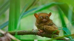 A tarsier at rest Bohol Island Philippines