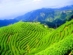 Boseong South Korea and the Daehan Dawon Tea Plantation