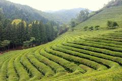 Daehan Dawon Tea Plantation South Korea