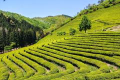 A Morsel of Marie s Musings Boseong Tea Fields again