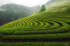 Noealz PhotoBoseong Tea Plantation