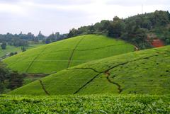 Tea plantation outside of Nairobi Kenya It s even more breath
