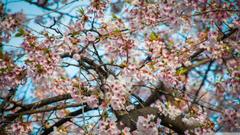 Cherry Blossom Seoul HD desktop wallpapers Widescreen High
