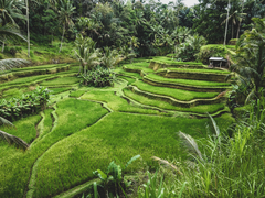 Wallpapers Indonesia Ubud Bali Nature Fields Tropics