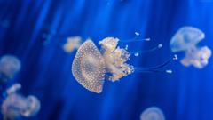 Sea Nettle Jellyfish Medusa Genoa Wallpapers and Stock