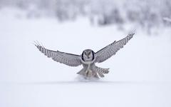 Northern Hawk Finland Wallpapers