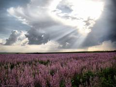 wallpapers Moldova lavender field desktop wallpapers