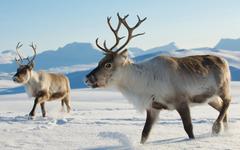 Reindeers in natural environment Tromso region Northern Norway