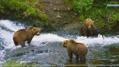 Meeting of Minds Brown Bears Alaska Wallpapers