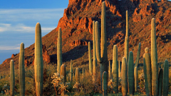 Organ pipe cactus np arizona wallpapers