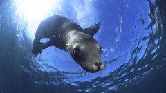Animals California Sea Lion Baja California Mexico picture nr