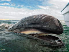 Gray whale swimming off the coast of Baja California Mexico